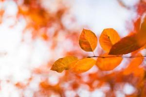 folhas de outono laranja foto