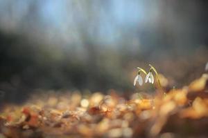 snowdrops foto