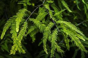 fundo de folhas de pinheiro foto