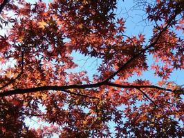 folhagem de árvore de bordo vermelho foto