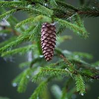 cones em árvore conífera foto