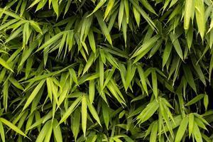 textura de bambu verde