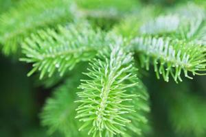 ramo de abeto verde natural. pinheiro foto