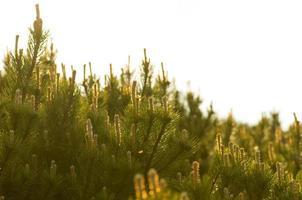pinheiro closeup