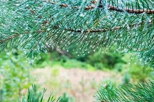 gotas de água em agulhas de pinheiro foto