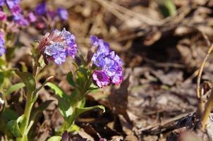 flores primaveris de pulmonaria (pulmonaria) na madeira foto
