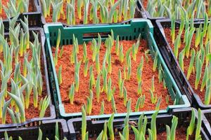 broto de tulipas