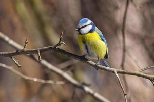 pássaro chapim-azul sentado no galho na primavera foto