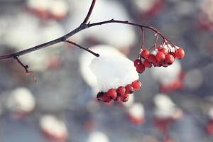 bagas vermelhas sob a neve foto