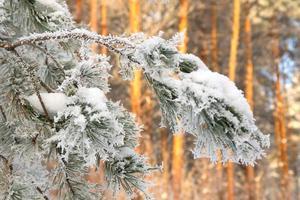 galho de geada de pinheiro coberto foto