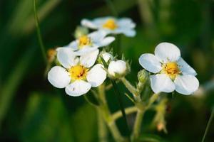 flores de morangos silvestres foto