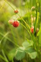 frutos maduros de morango do campo