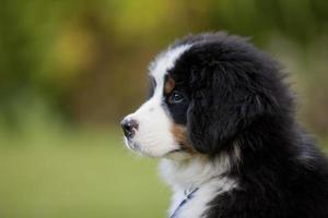 jovem cachorro bernese