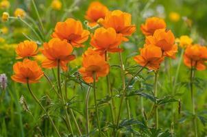 montanhas de prado de flores de laranja foto