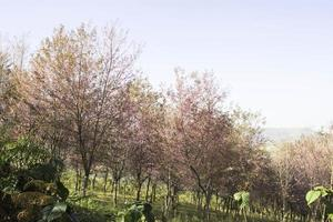 vistas da natureza rosa de sakura em phuromro loei, tailândia