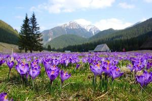 açafrões no vale de chocholowska, montanhas tatra, polônia