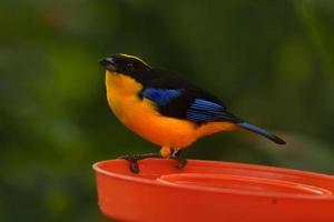 tanager de asas azuis foto