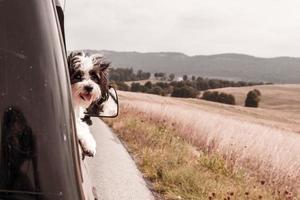 cachorro pegando vento