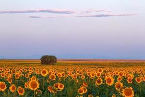 nascer do sol da manhã nos campos de girassóis no Colorado