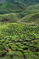 plantação de chá nas montanhas