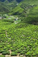 plantação de chá nas montanhas foto