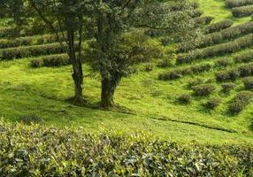 plantações de chá verde na montanha foto