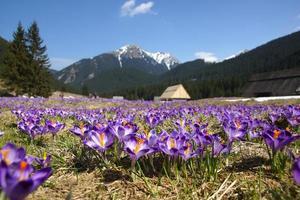 açafrões no vale de chocholowska, montanha tatra, polônia