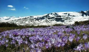 montanha Rila, topos cobertos de neve e visão de açafrões