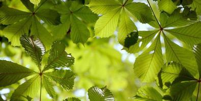 folhas de castanheiro foto