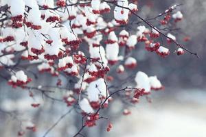 bagas vermelhas sob a neve, neve, fundo, cinza de montanha, espinheiro foto