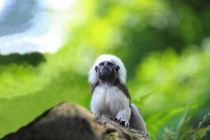 o mico-top de algodão foto