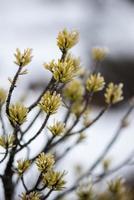 closeup de pinheiro com geada