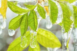 folhas congeladas foto