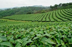 plantação de chá na tailândia
