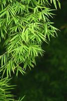 folhas de bambu foto