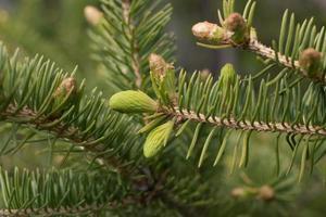 galho de árvore de abeto de perto foto