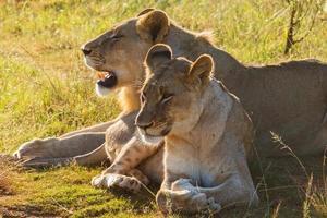 par de leões africanos (panthera leo)