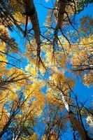 árvores de outono choupo