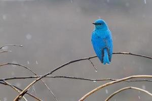 pássaro azul da montanha na chuva foto