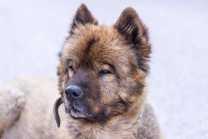 retrato do simpático cachorro da montanha foto