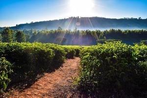 nascer do sol em uma plantação de chá