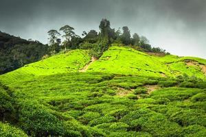plantação de chá cameron highlands, malásia