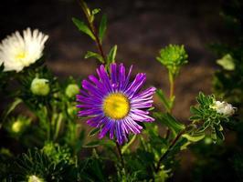 flores de outono aster rosa e violeta foto