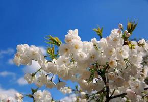 florescendo primavera fundo de galho de árvore