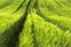 campos de grãos.