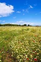 campo de primavera de menorca com papoulas e flores margaridas