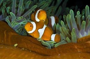 peixe palhaço foto