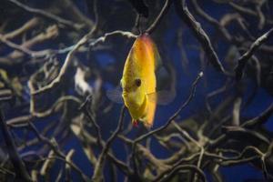 raízes de peixes discus foto