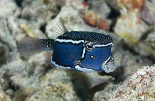 boxfish / ostracion witleyi