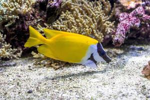 o mundo subaquático. peixes exóticos de coral tropical brilhante foto